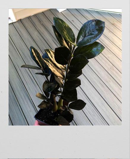 Black ZZ Plant